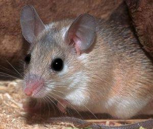 Ratas, ratones, hámsters